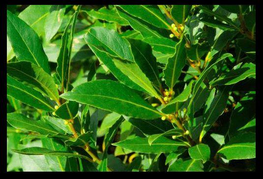 Le foglie di alloro, se vengono bruciate, hanno proprietà e vantaggi inimmaginabili. L'alloro è una pianta che si trova molto facilmente nel nostro paese e...