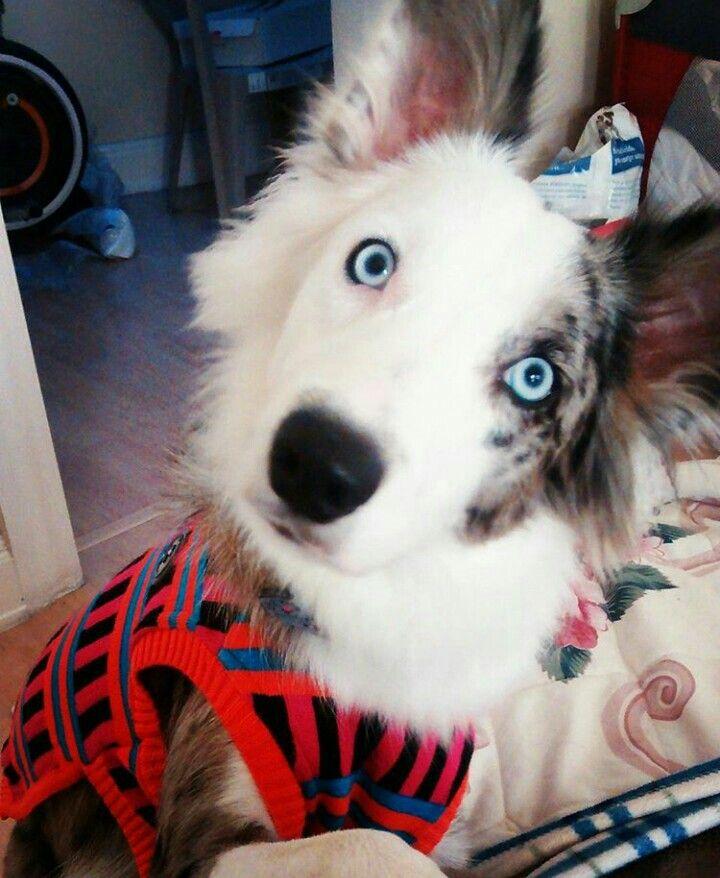 Border Collie azul mirlo. Anissa estrenando suéter!