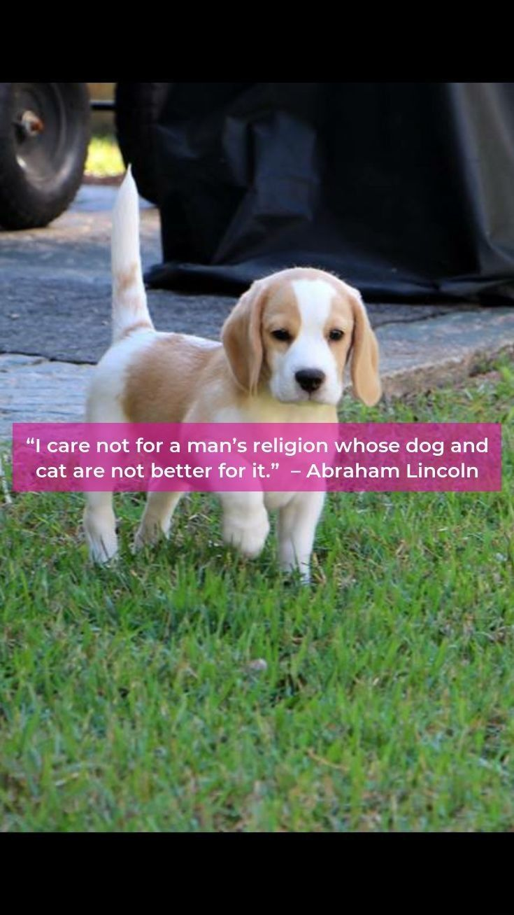Beagle Beagleclub Beagles Dog Dogs Beagle Beagle Dog