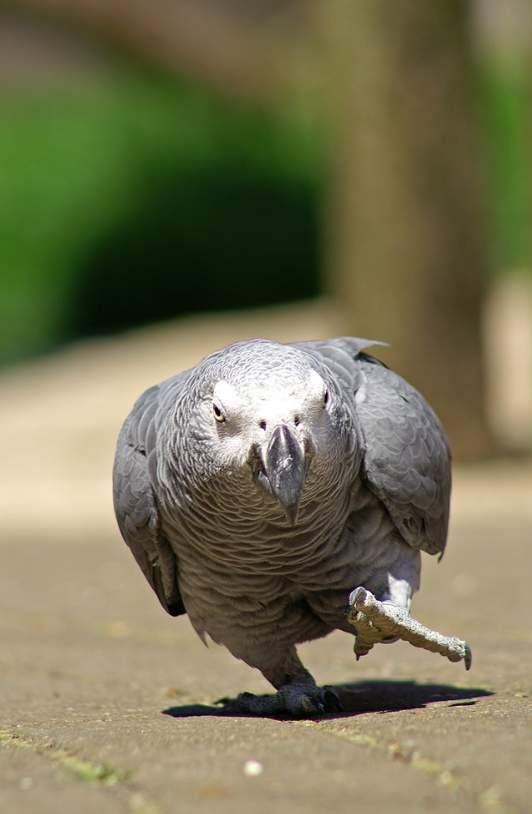 Pappagallo cenerino - Grey parrot - Psittacus erithacus