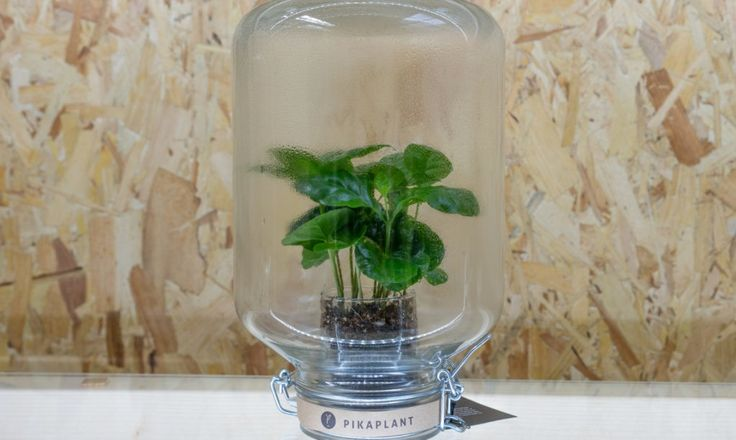 Pikaplant Jars mimic Mother Nature, making a beautiful, self-watering plant display.