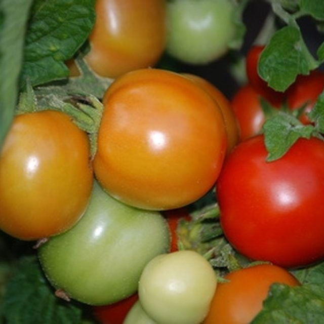 Heat-resistant tomatoes are the best choice for southern Arizona.