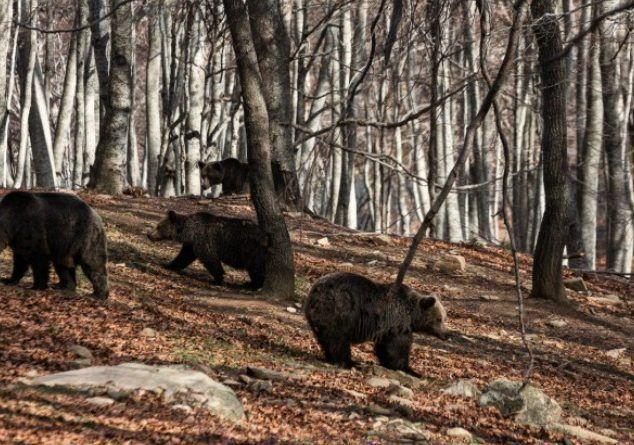 """Η Άνοιξη ήρθε! Οι αρκούδες του """"Αρκτούρου"""" το επιβεβαιώνουν καθώς άρχισαν να βγαίνουν από τις φωλιές τους! Δείτε φωτογραφίες! ..."""