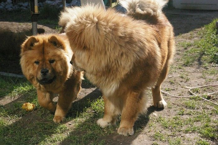 People Will Be Able To Tell The Temperament Of The Chow Chow By