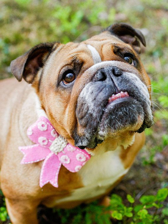 S - Dog Birthday Outfit - Dog Lover Gift - Bows for Dogs - Dog Wedding Bow Tie - Pet Accessories - Dog of Honor - by Vicia Faba Design
