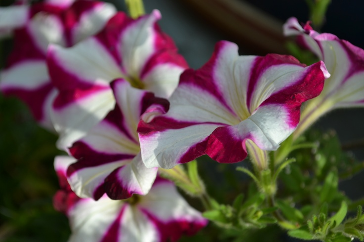 Ordinary? Yes, it's just a Petunia.... but, each bloom s uniqu in it's ratio & placement of pnk & white. 2013-03 Mentone, Ca.
