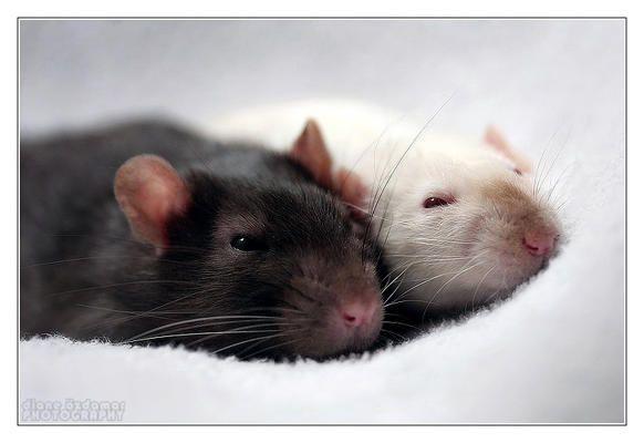 Krokus and Helyan - Fancy rats