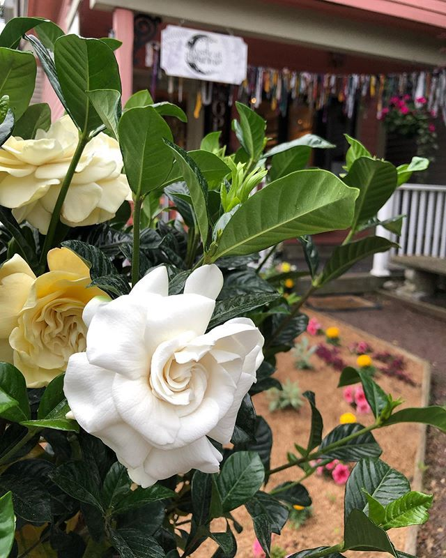 Did You Know Gardenia Is In The Coffee Family The Smell And The Flowers Are Beautiful I Have Had Luck Bringing Them In The House F Flowers Gardenia Blossom