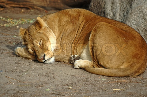 Stock image of 'Lion resting in the sun'