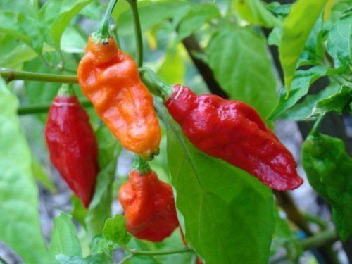 Grow Ghost Pepper Plants - Confirmed by the Guinness Book of World Records as the HOTTEST Pepper On Earth! If you like the heat it is fruity in smell and taste and is a great addition to soup, stew, chili, and salsa.  Can also be used in your garden to ge