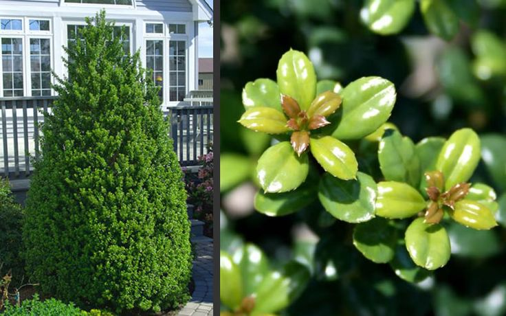 Steeds Holly is an evergreen shrub with a natural pyramidal form. Being a Japanese Holly it has small, shiny, oval shaped, boxwood-like leaves with no points.