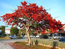 This is the Alberta Magna - known as the Natal Flame bush, but has been known to grow into a medium-sized tree. Not only is it treasured for its impressive beauty, but it is also a protected tree. Naturally occurs in forests, kloofs and valleys. It is suited to coastal areas, and does not like dry heat or cold. Quite a beautiful addition to your garden.
