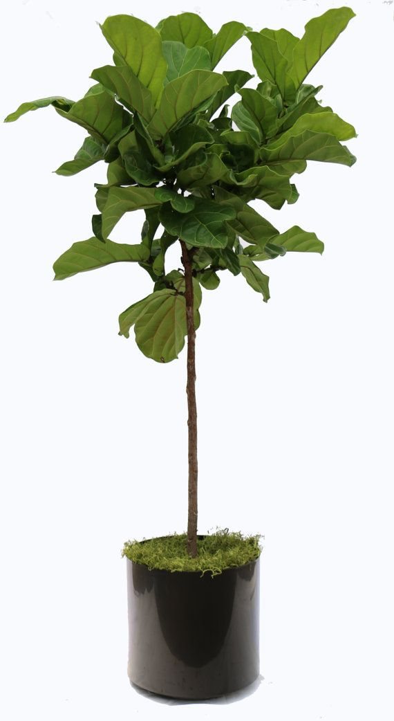 Ficus Lyrata Package by ScapeSupply on Etsy
