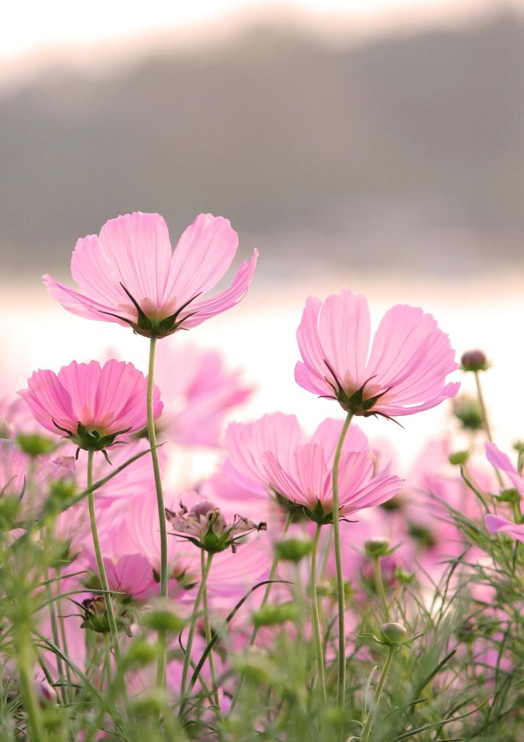 Bonitas florecitas rosadas | Pretty, little pink flowers - #cosmos #flores #lindo