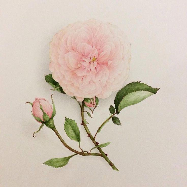 Watercolor Vincent Jeannerot.      Rose Souvenir de La Malmaison.