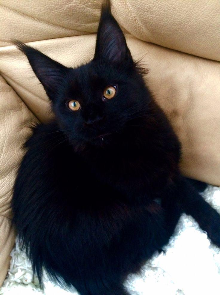 564 best Black Cats images on Pinterest   Black kittens ...