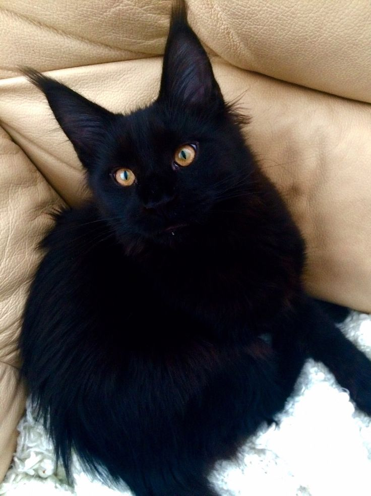 Black cats- a black cat crosses my path everyday... Where's my good luck? #dylanmyboy
