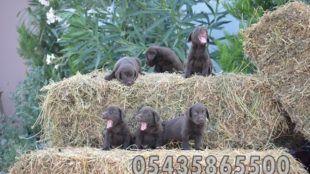 Satılık Chocolate Labrador Yavruları http://www.heavendog.net/satilik-chocolate-labrador-yavrulari.html