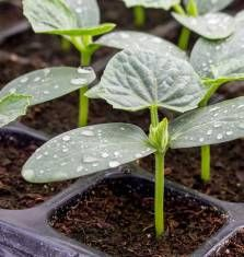 Cucumber seedling in Seeds trays