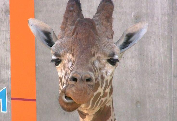 旭山動物園 (Asahiyama Zoo) 場所: 旭川市, 北海道