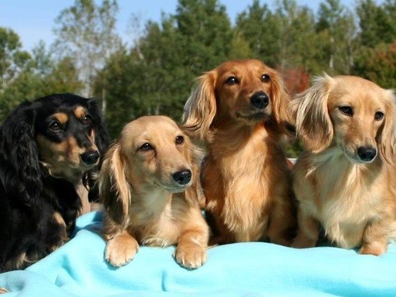 Dachshund Longhair Dogs All Colors Actual Picture Is Approx 8 X