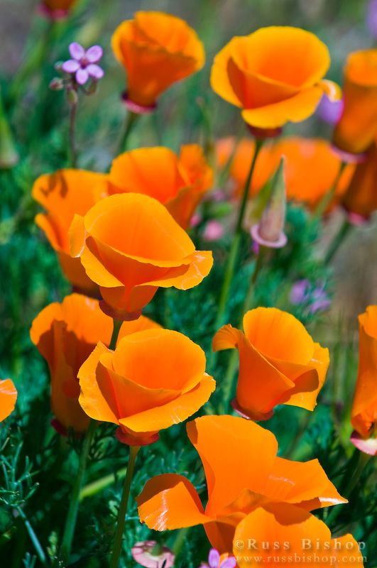California Poppies (Eschscholtzia californica), Antelope Valley, California; photo by Russ Bishop