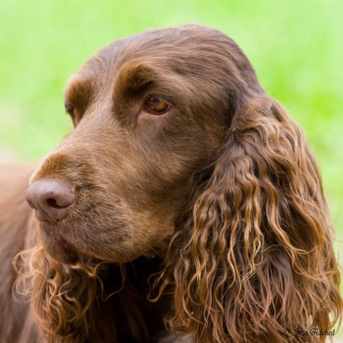 about Field Spaniel on...
