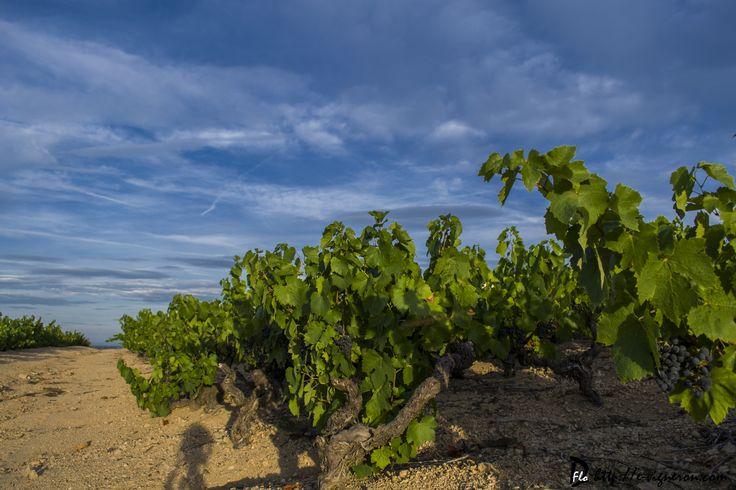 Les raisins du millésime 2015 profitent de leurs derniers rayons de Soleil.