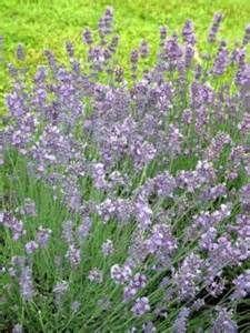'Munstead' is actually a low-growing shrub, native to the Mediterranean region. In colder regions the plants may then need shelter for the winter. This reliable, compact selection has grey-green foliage and bright lavender-blue flowers. Prune lightly in early spring, no harder than 4 inches. Lavender MUST have good drainage in order to avoid root rot problems. Consider growing in a raised bed or rock garden. Drought tolerant once established.