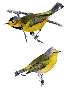 Bachman's Warbler: This species is Critically Endangered and may be Extinct. The last confirmed sighting in the USA was in Louisiana, in August 1988 [