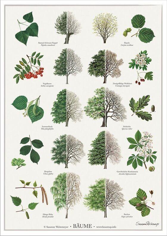 Pflanzen, Bäume erkennen, Einheimische pflanzen