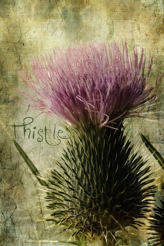 Thistle - ancient protection of Scotland against evil spirits