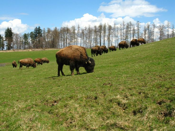 Bison and Lynx Natural Reserve - #Romania