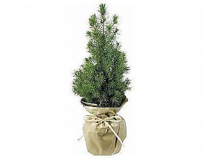Kleine Kerstboom naturel. Relatiegeschenk.nl voor al uw onbedrukte en bedrukten relatiegeschenken.
