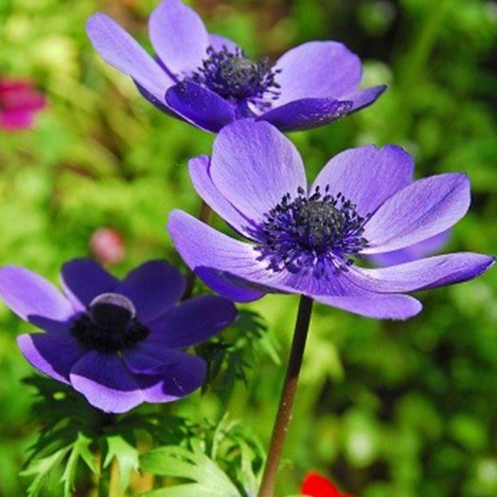 Mr Fokker Anemone Bulb Flowers Planting Bulbs Purple Garden