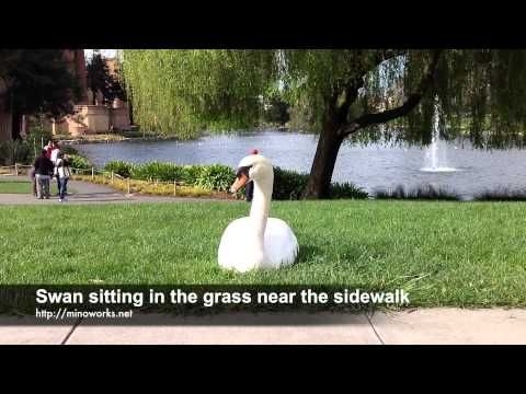 Swan sitting in the grass near the sidewalk - YouTube