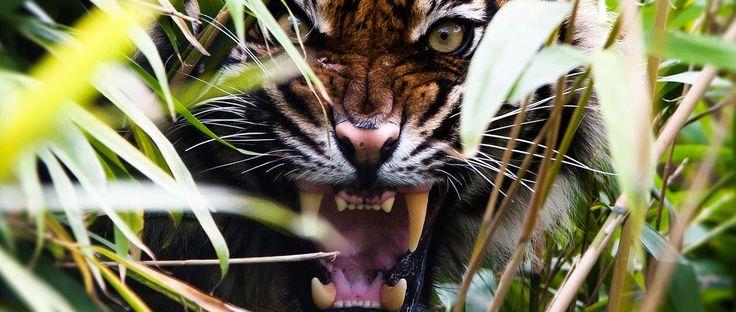 Sabías que Liberan nuevo tráiler de The Jungle Book