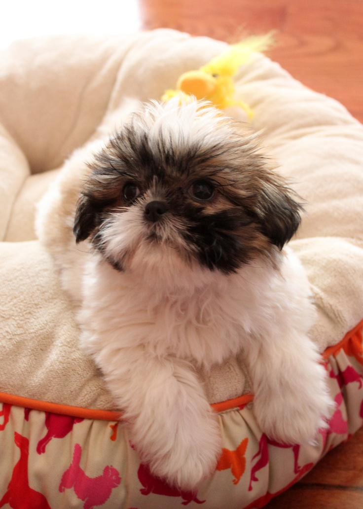 """Click visit site and Check out Best """"Shih Tzu"""" T-shirts. This website is excellent. Tip: You can search """"your name"""" or """"your favorite shirts"""" at search bar on the top."""