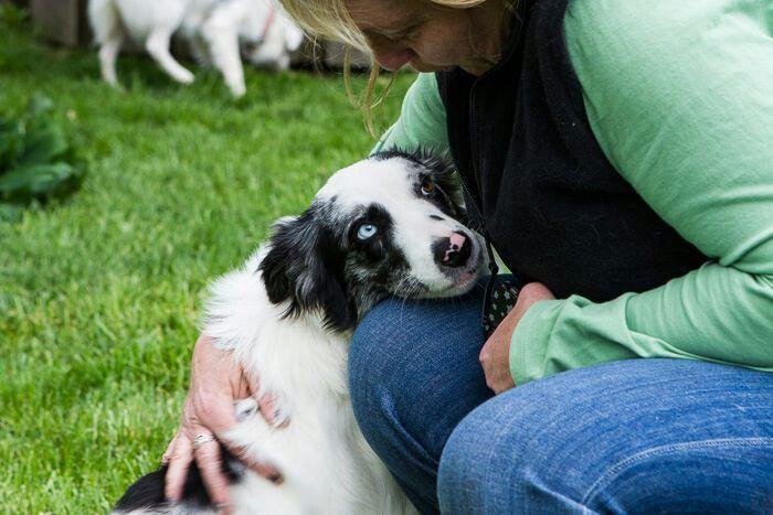 Az Rescue Collie Border Australian Shepherd