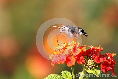 Download Sphingidae Royalty Free Stock Photos for free or as low as 6.94 руб.. New users enjoy 60% OFF. 20,414,390 high-resolution stock photos and vector illustrations. Image: 35679058
