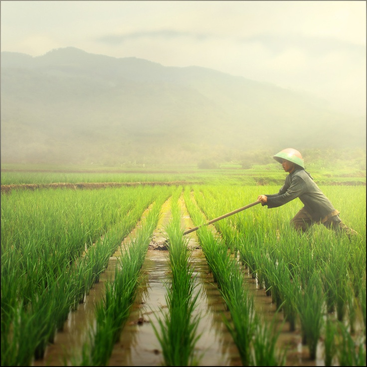 A farmer in rice field, Indonesia.