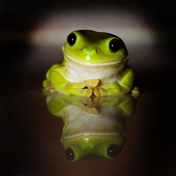 "Flickr user Samuel Sharpe brings us ""an Australian Green Tree Frog that somehow made its way into my kitchen. Judging by the facial expression I am guessing he found what he was looking for."""