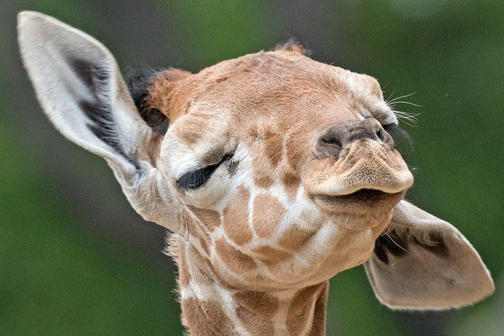 Las jirafas sólo duermen 7 minutos al día de pie