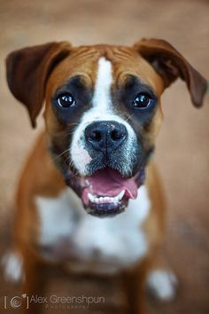 Boxer - If they didn't get so large and slobbery I might like it.  I do know that they are very affectionate.