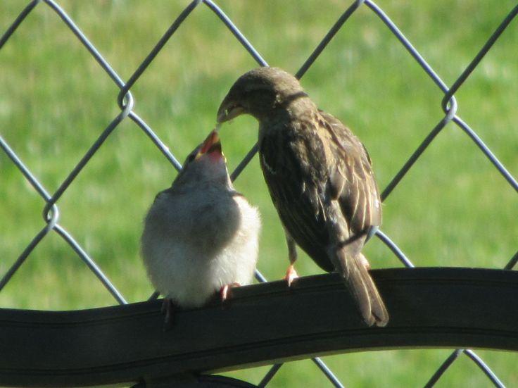Feeding baby finch - 75 Best Backyard Friends Images On Pinterest Backyard, Backyards