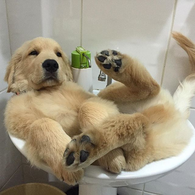 289 Best Images About Golden Retrievers On Pinterest