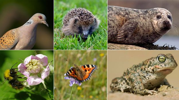Wildlife stocktake highlights UK's most threatened species  Turtle dove, hedgehog, harbour seal, early bumblebee, small tortoiseshell butterfly, natterjack toad (c) NaturePL / Photoshot / RSPB / Butterfly Conservation