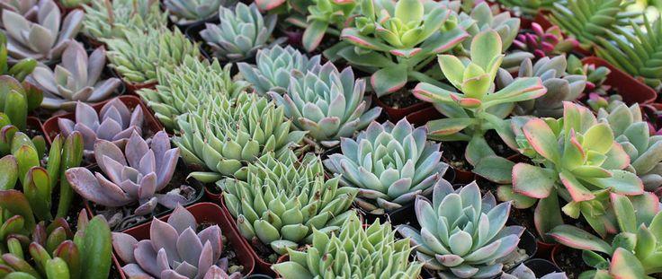 Succulent Source Store Order Succulents online!