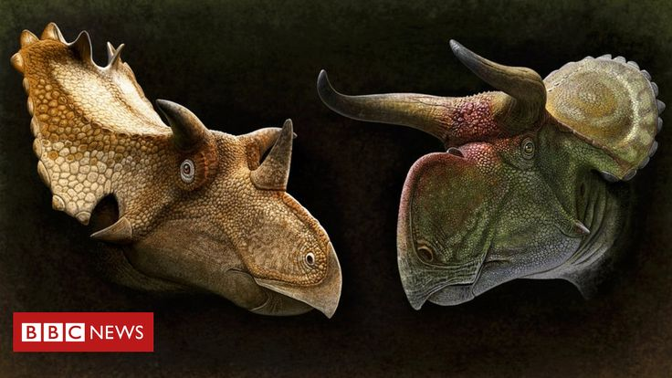 Dinosaurs like the Triceratops may have had horns and frills to attract a mate a new study suggests.