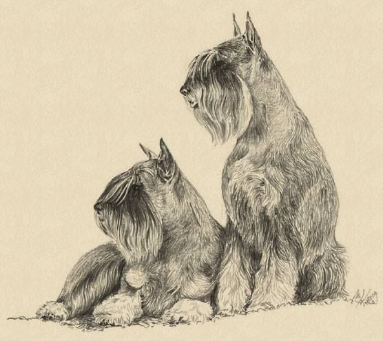 Schnauzer Drawing Easy: 141 Best Images About Standard Schnauzer On Pinterest